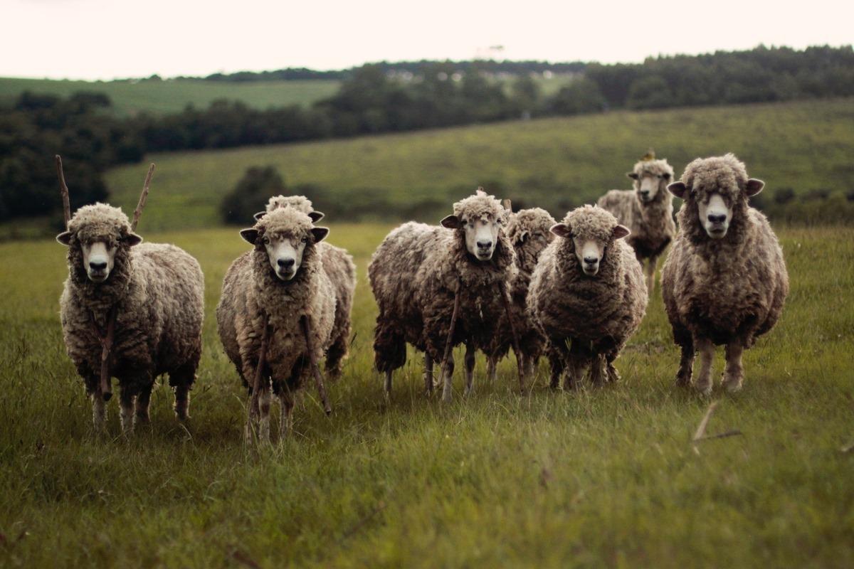 sheep-oi