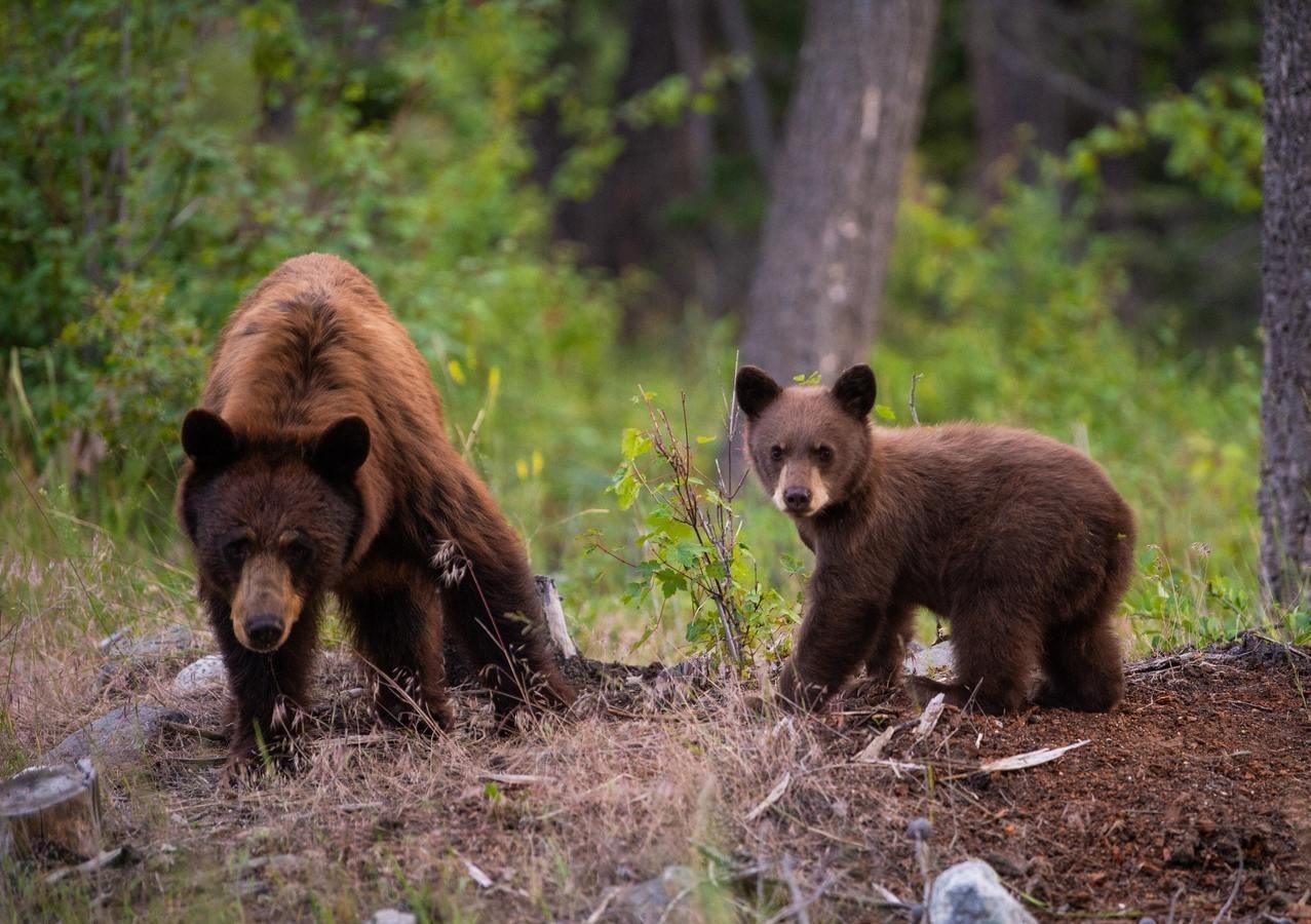 ursi-bears
